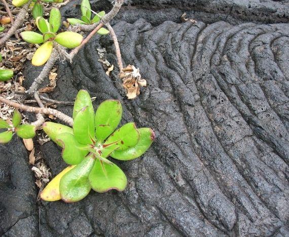 ハワイ写真 溶岩と葉